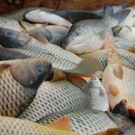 Friss halat Karácsonyra, egyenesen a termelőktől